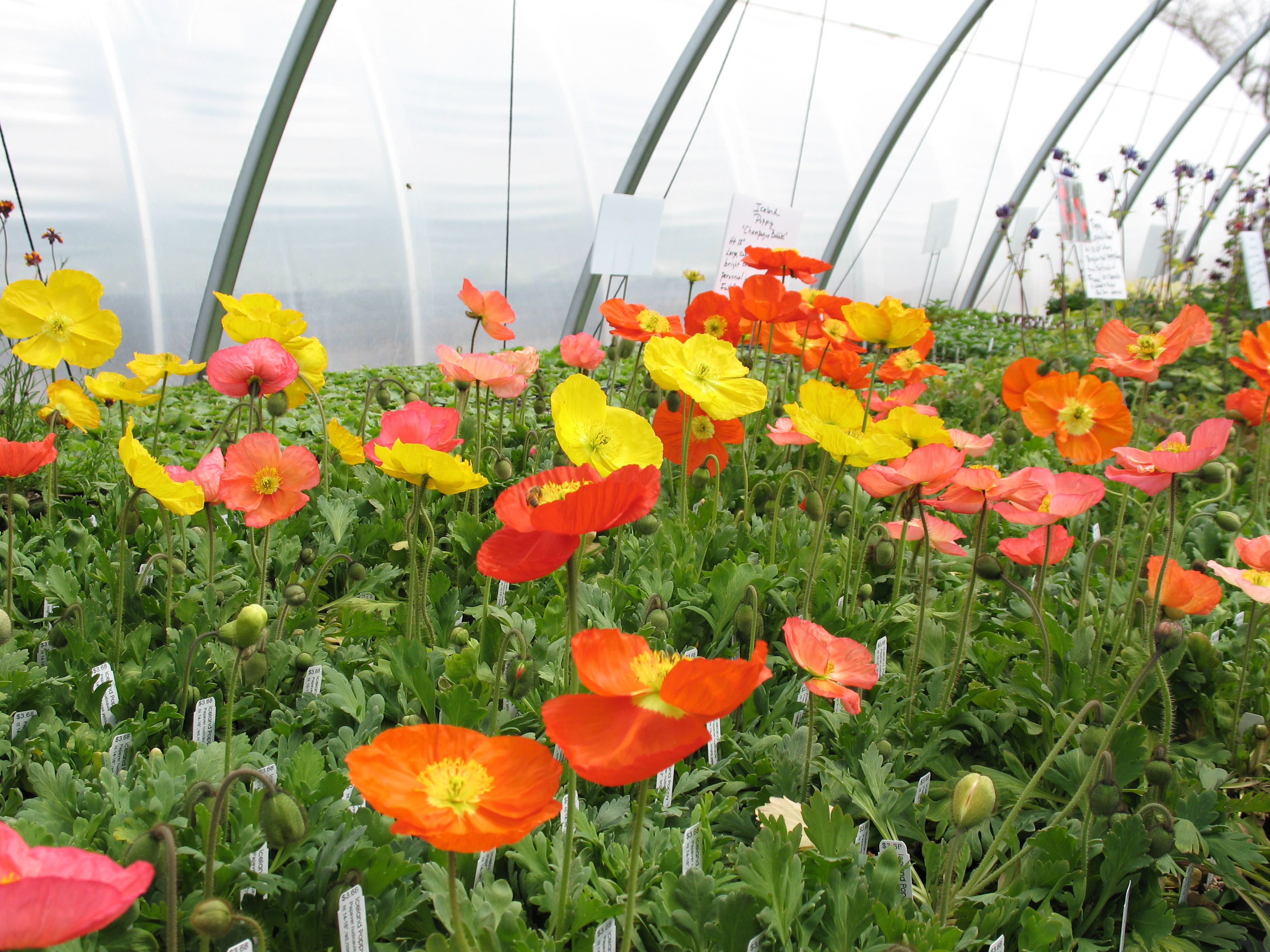 Poppies Are Starting To Bloom Shortgrass Greenhouse